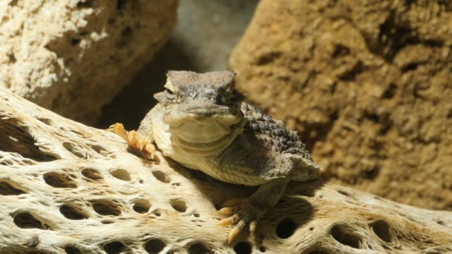 Horned lizard, or horny toad, resting on a branch video