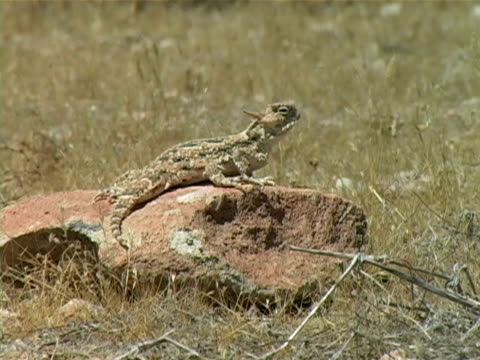 Horned Toad Horned Toad sitting on a rock in the Mojave desert. mojave desert stock videos & royalty-free footage