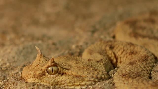 Horned Viper in Sand
