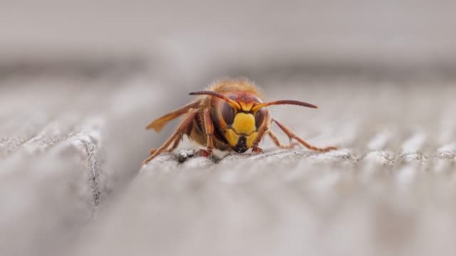 hornet frontalen tiere tierwelt hautnah - wespe stock-videos und b-roll-filmmaterial