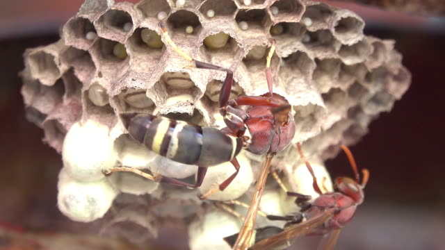 Hornet crawling on a hornet's nest Close-up hornet crawling on a hornet's nest larva stock videos & royalty-free footage