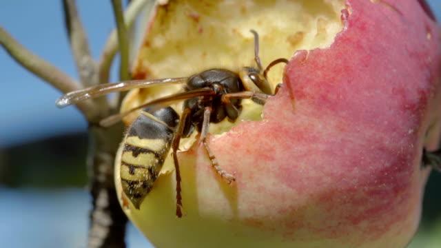 Hornet eats red apple video