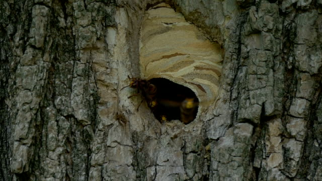 Hornet Fly Out Nest Slow Motion - video