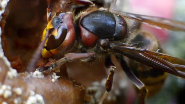 hornisse, insekten, käfer, wespe, sting, knabbern faulen apple, tier, natur, chicken flügel, antenne - hornisse stock-videos und b-roll-filmmaterial