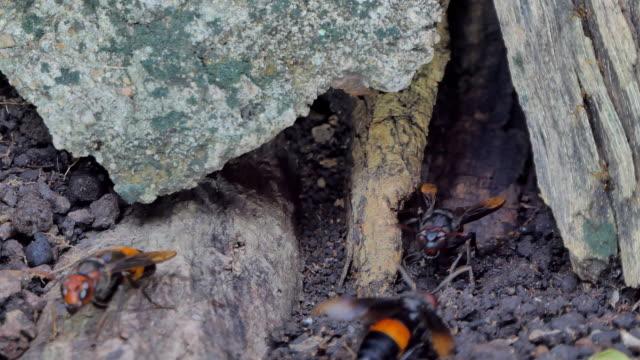 hornisse in nest unter der erde. - hornisse stock-videos und b-roll-filmmaterial
