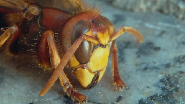 hornet ruht auf fensterbank makroaufnahme - hornisse stock-videos und b-roll-filmmaterial