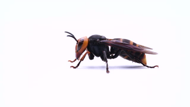 hornet - hornisse stock-videos und b-roll-filmmaterial