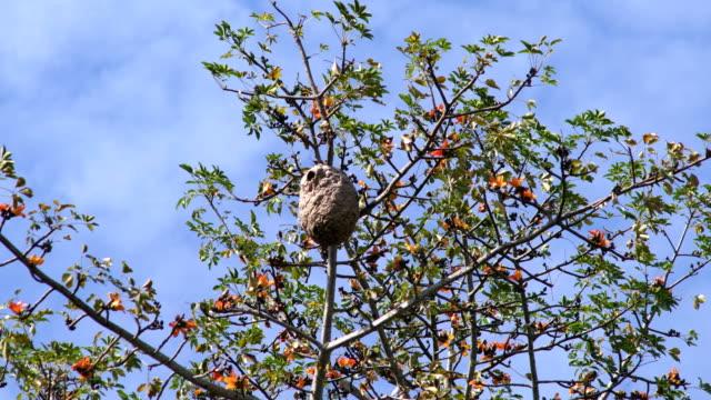 hornet wespe im nest auf dem baum mit blauem himmel - hornisse stock-videos und b-roll-filmmaterial