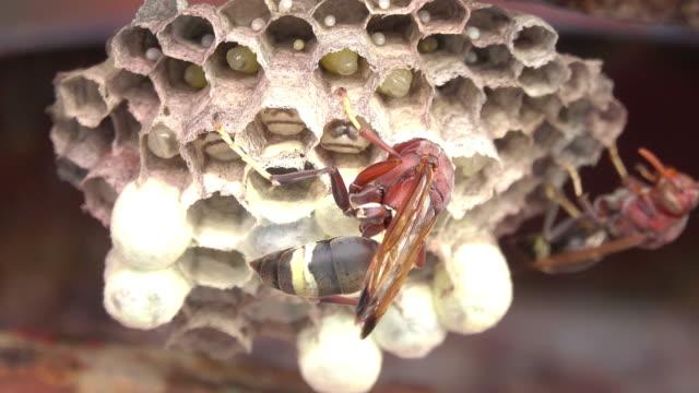 hornisse auf ein hornissennest - hornisse stock-videos und b-roll-filmmaterial