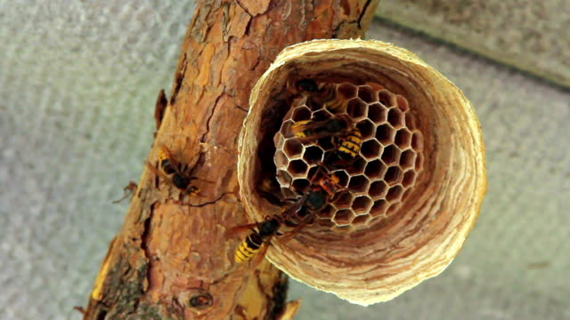 hornets nest - hornisse stock-videos und b-roll-filmmaterial