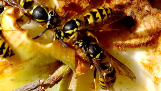 Hornets on apple video