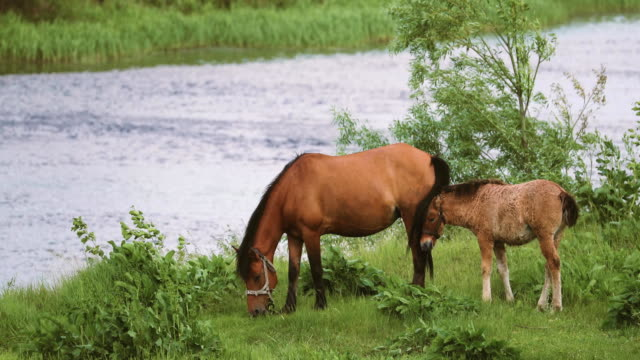 häst och föl unghäst betar på grön äng nära floden på våren eller sommaren i vitryssland - djurfamilj bildbanksvideor och videomaterial från bakom kulisserna