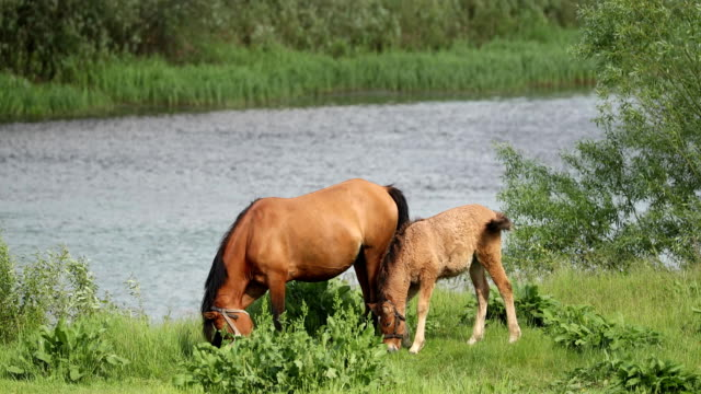 horse and foal young horse grazing on green meadow near river in spring or summer - stallone video stock e b–roll