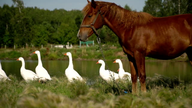 A horse and geese graze in a meadow near the lake. video
