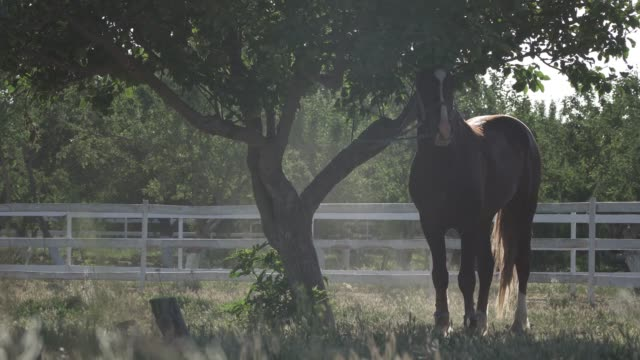 Horse At Sunset. The horse is tied to a tree video