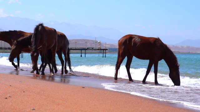horse drinking water from the sea - stallone video stock e b–roll