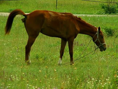 vídeos y material grabado en eventos de stock de caballo de los hábitos alimenticios y defecates - caballo