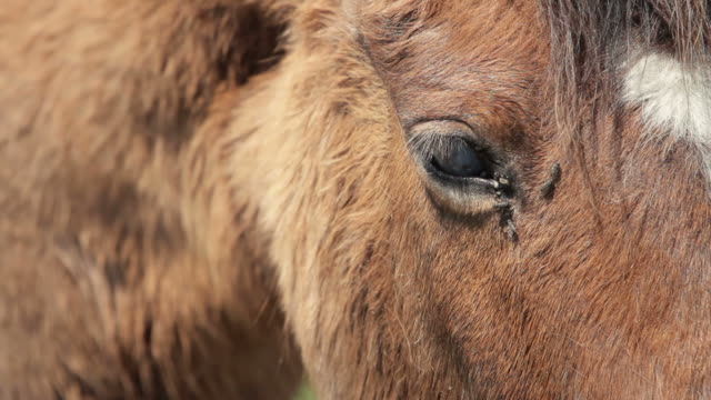 Horse eye and flies close-up video video