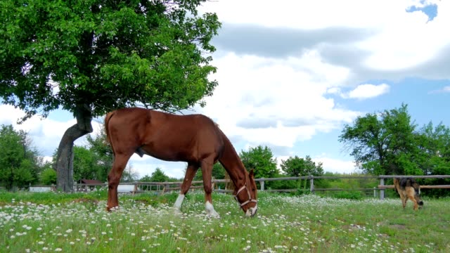 Horse grase on a green field video