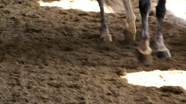 gambe grigie del cavallo da vicino - stallone video stock e b–roll