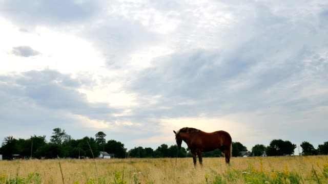 A horse grazing on a meadow video