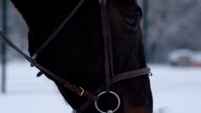 CLOSE UP: Horse grazing on grass under the snowy blanket during the wintertime video