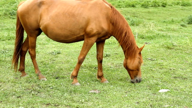 horse grazing on pasture and eating green grass - mandriano video stock e b–roll