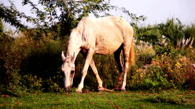 Horse grazing outdoor in the nature video