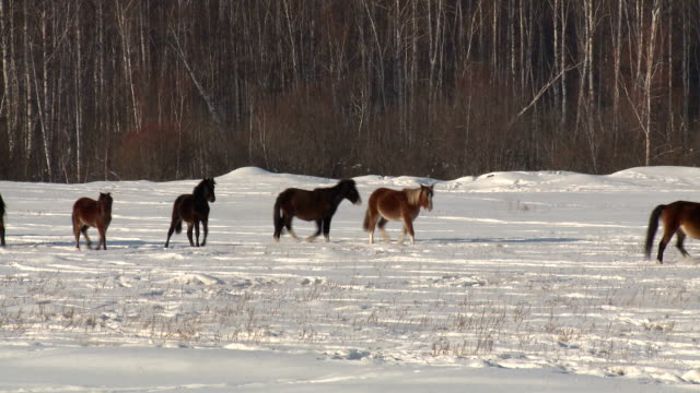 horse in a winter field horse in a winter field near the forest siberia stock videos & royalty-free footage