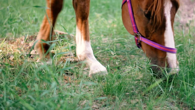 horse in the forest eating grass - cavallo purosangue video stock e b–roll