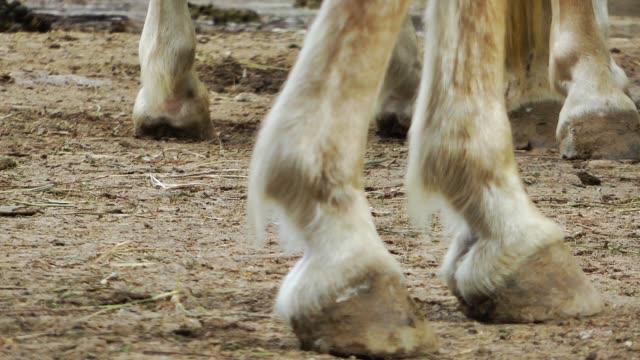 horse legs - horseshoe stock videos & royalty-free footage
