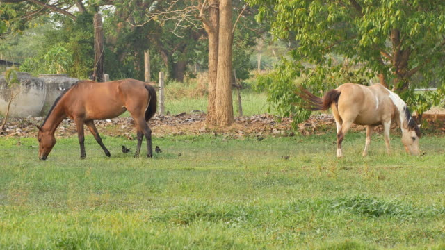 Horse munches mouthful of green grass in a lush green field. video