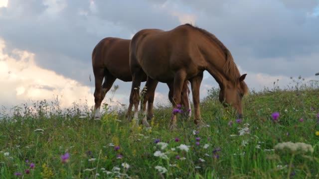 vídeos de stock, filmes e b-roll de um cavalo em um pasto verde do monte, montanhas do carpathian, flores selvagens de encontro a um céu azul com nuvens no por do sol. - sem cultivo