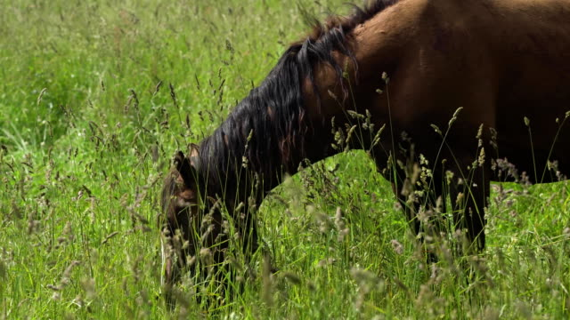 horse on a summer pasture - criniera video stock e b–roll