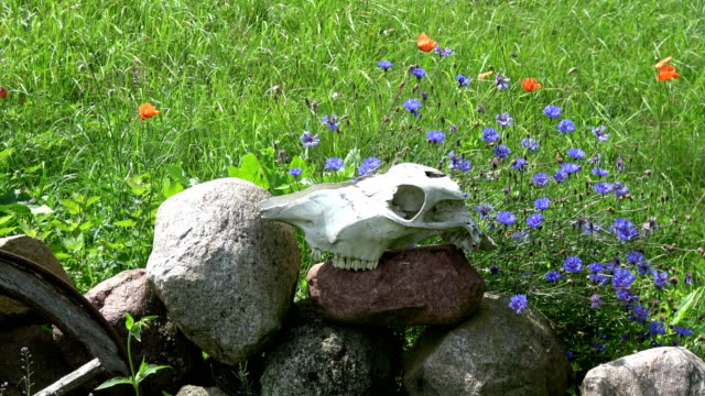 Horse skull on stones in farm and wind in cornflowers video