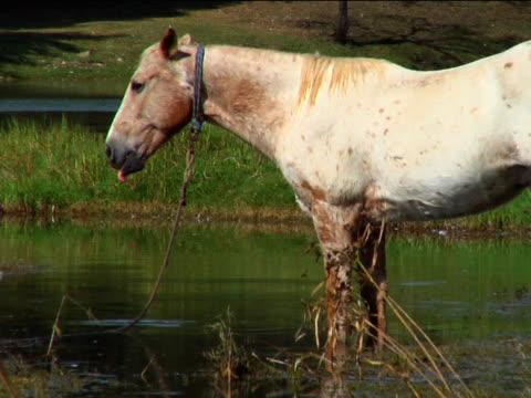 pferd gebunden in einem teich - pferdeartige stock-videos und b-roll-filmmaterial