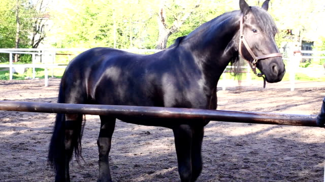 A Horse Walks In The Paddock The horse is on paddock, stops and looks into the camera corral stock videos & royalty-free footage