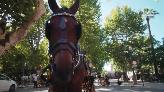 A horse with a carriage licks lips. Close-up