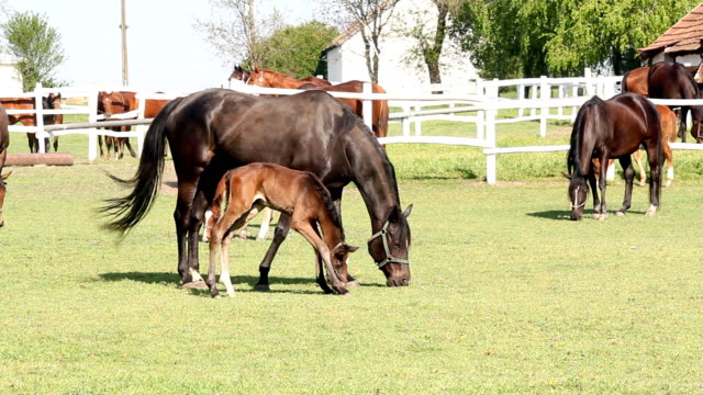horses and foals grazing in corral horses and foals grazing in corral corral stock videos & royalty-free footage