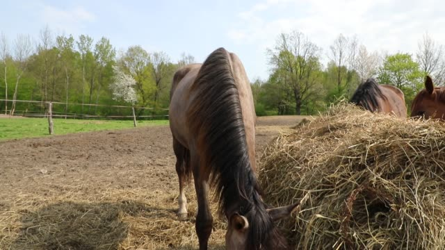 horses are eating the hay on the meadow - criniera video stock e b–roll
