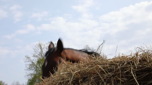 Horses are eating the hay on the meadow video