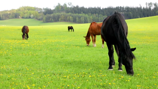 horses eat spring grass in a field - briglia video stock e b–roll