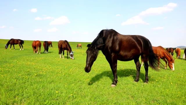 horses eat spring grass in a field - cavalla video stock e b–roll