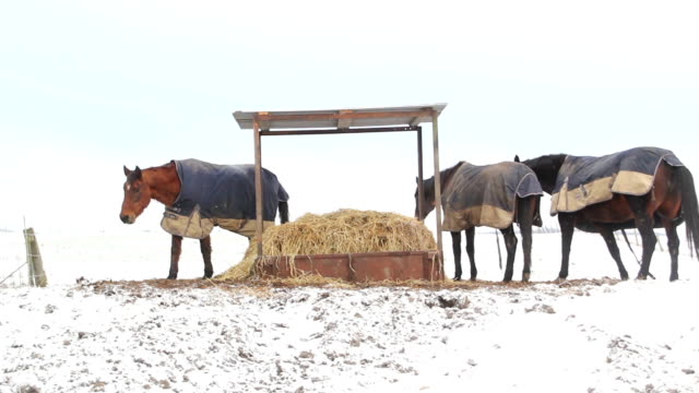 Horses eating straw under a shelter in the snow video