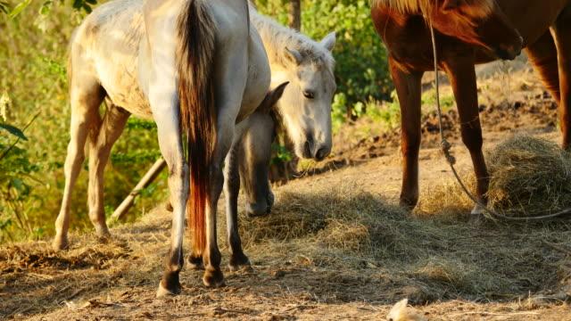 Horses feeding. video