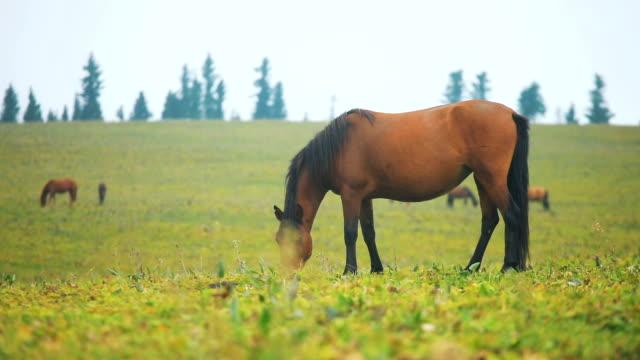 pferde weiden auf dem feld - hengst stock-videos und b-roll-filmmaterial