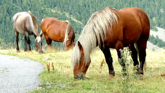 Horses grazing in freedom. video