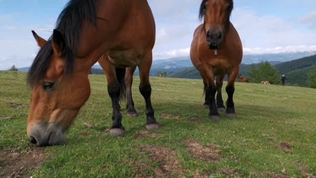 cavalli che pascolano nei prati verdi - stallone video stock e b–roll