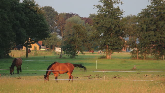 horses grazing in the netherlands, wideangle - profile photo bildbanksvideor och videomaterial från bakom kulisserna