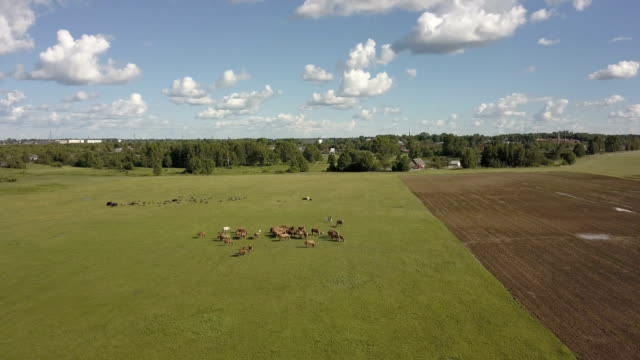 Horses grazing is green pasture.Horses graze in a field. Aerial view on brown horse on a green meadow. video